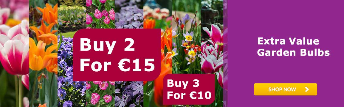 Extra-Large-Value-Garden-Bulb 2 for 15 euro - 3 for 10 euro