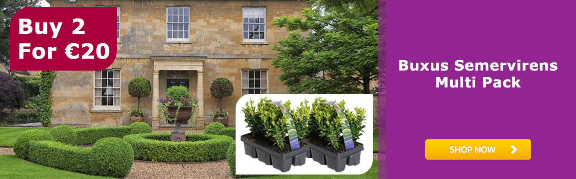 Buxus Semervirens Multi Pack Buy 2 for 20