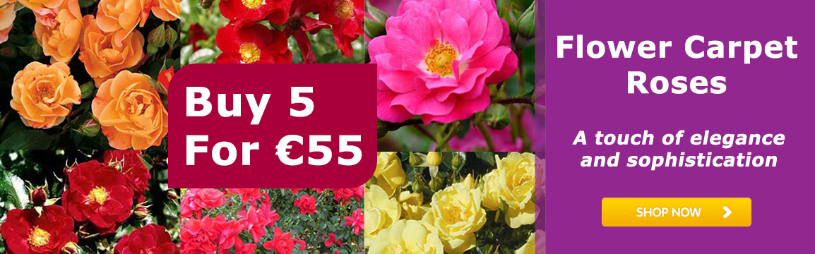 Flower Carpet Rose Collection Buy 5 for €55
