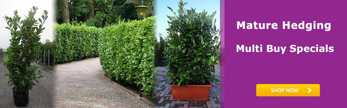 Mature Hedging Buy 6 Discounts on Arctic King Laurel
